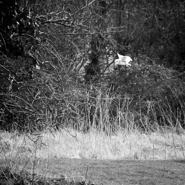 Barn-Owl-1-of-1.jpg